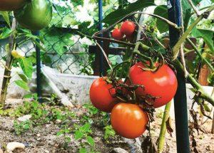domáce paradajky